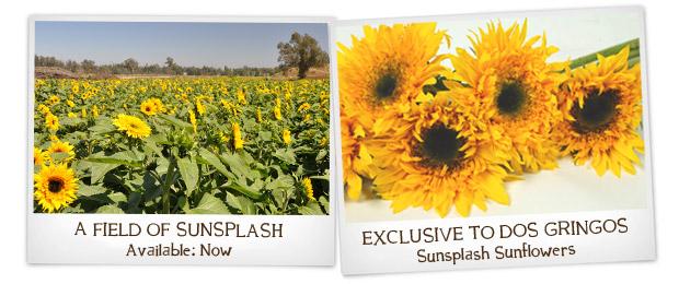 Sunsplash Sunflowers - A DG Exclusive